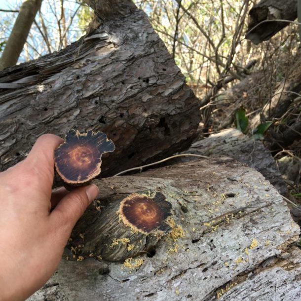 隠岐の島の松の年輪